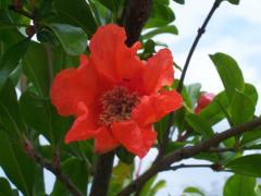 melograno-fiore