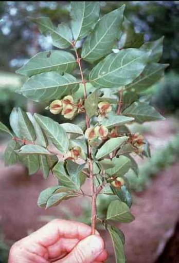 Fra Fiorenzo - Kinkèliba Combretum micranthum